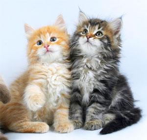 Персональный сайт сибирская кошка