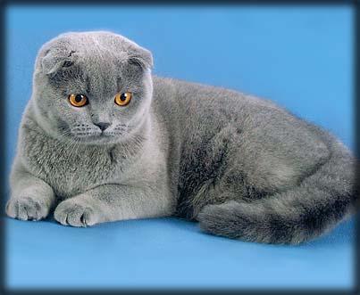 Шотландская вислоухая кошка скоттиш фолд  хайленд фолд
